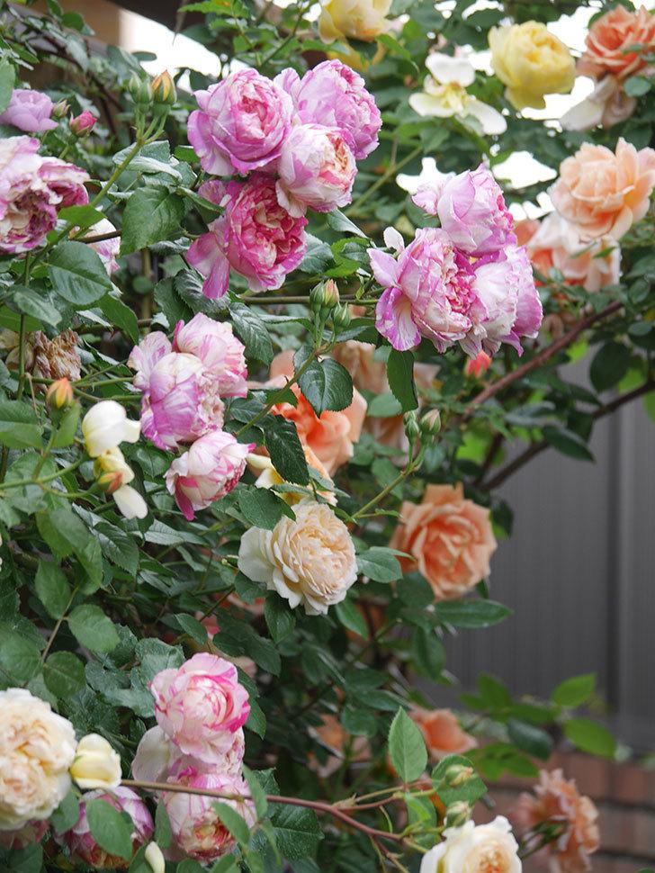 サムズ・アップ(Thumbs Up)の花がたくさん咲いた。半ツルバラ。2021年-163.jpg