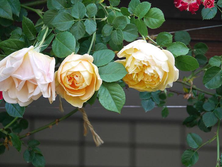 サムズ・アップ(Thumbs Up)の花が咲いた。半ツルバラ。2021年-003.jpg
