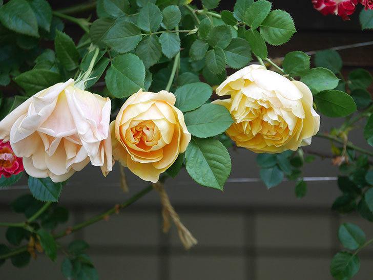 サムズ・アップ(Thumbs Up)の花が咲いた。半ツルバラ。2021年-004.jpg