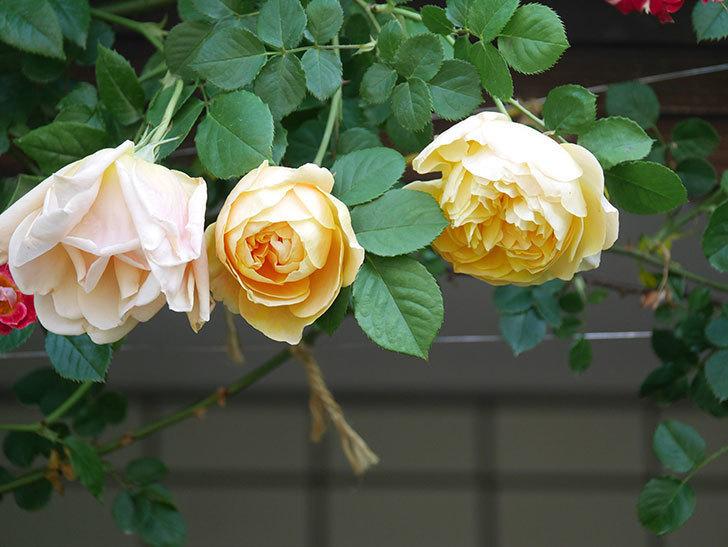 サムズ・アップ(Thumbs Up)の花が咲いた。半ツルバラ。2021年-005.jpg