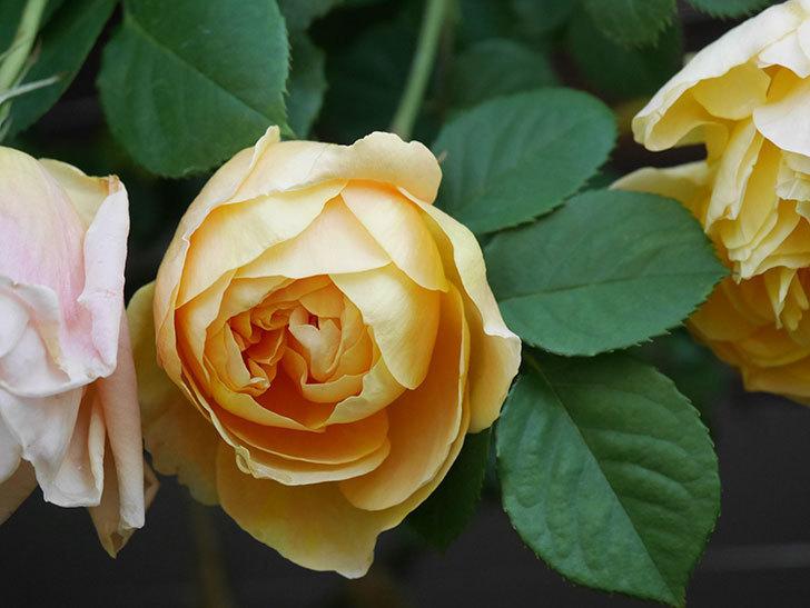 サムズ・アップ(Thumbs Up)の花が咲いた。半ツルバラ。2021年-006.jpg