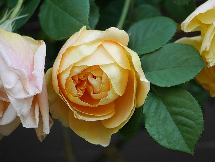 サムズ・アップ(Thumbs Up)の花が咲いた。半ツルバラ。2021年-007.jpg