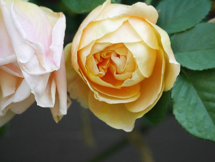サムズ・アップ(Thumbs Up)の花が咲いた。半ツルバラ。2021年-008.jpg