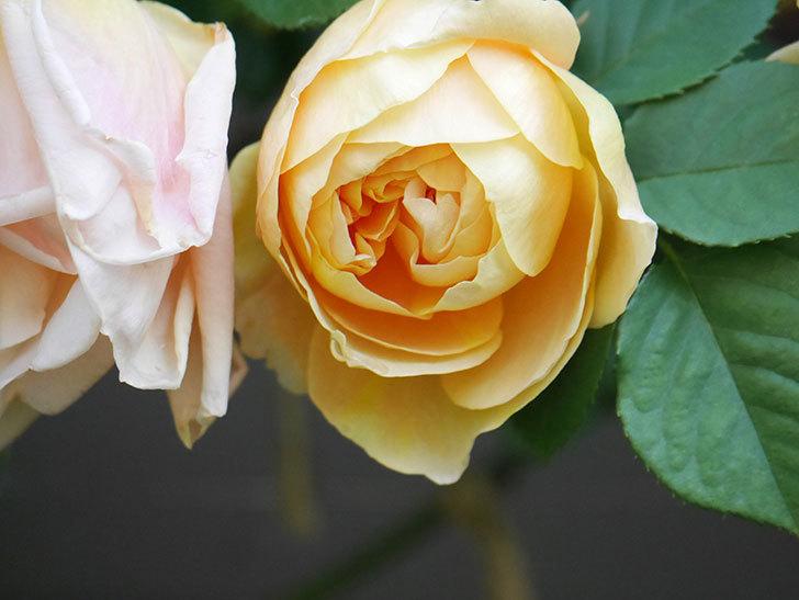 サムズ・アップ(Thumbs Up)の花が咲いた。半ツルバラ。2021年-009.jpg