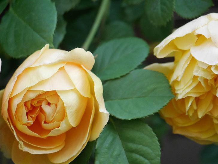 サムズ・アップ(Thumbs Up)の花が咲いた。半ツルバラ。2021年-010.jpg