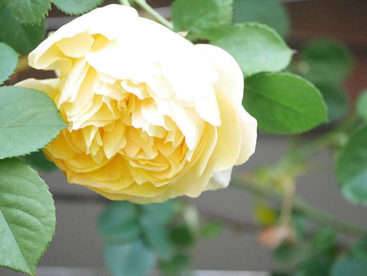 サムズ・アップ(Thumbs Up)の花が咲いた。半ツルバラ。2021年-011.jpg