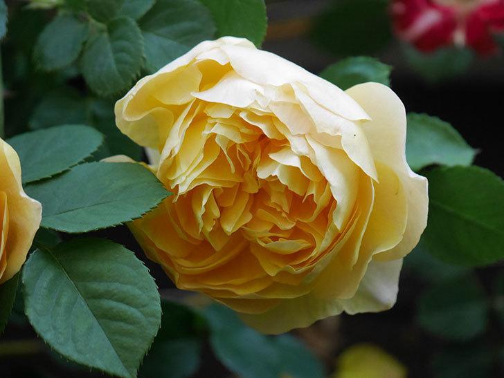 サムズ・アップ(Thumbs Up)の花が咲いた。半ツルバラ。2021年-012.jpg