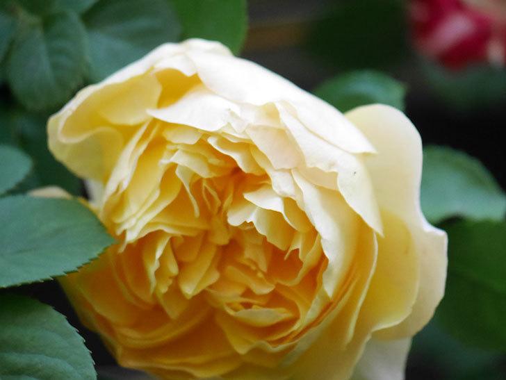 サムズ・アップ(Thumbs Up)の花が咲いた。半ツルバラ。2021年-014.jpg