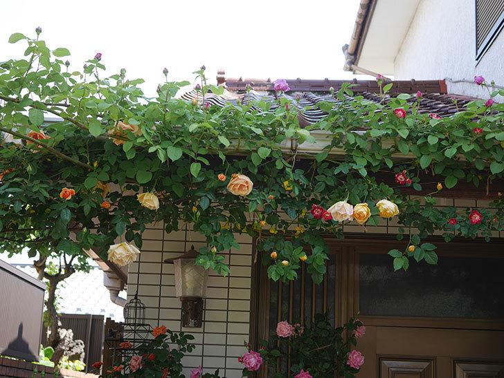 サムズ・アップ(Thumbs Up)の花が咲いた。半ツルバラ。2021年-017.jpg