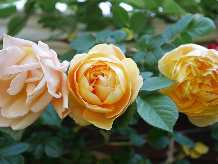 サムズ・アップ(Thumbs Up)の花が咲いた。半ツルバラ。2021年-018.jpg