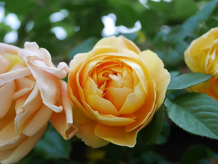 サムズ・アップ(Thumbs Up)の花が咲いた。半ツルバラ。2021年-019.jpg