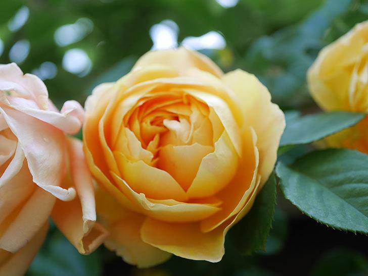 サムズ・アップ(Thumbs Up)の花が咲いた。半ツルバラ。2021年-020.jpg
