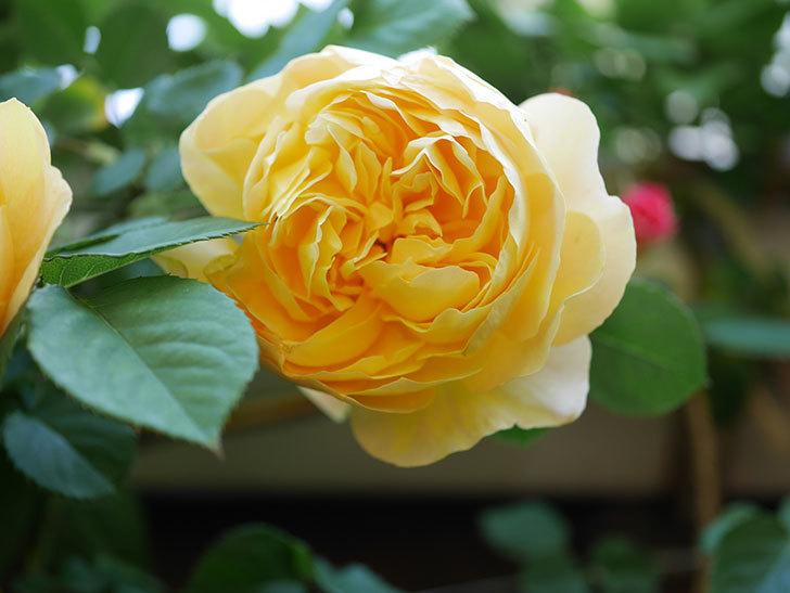 サムズ・アップ(Thumbs Up)の花が咲いた。半ツルバラ。2021年-021.jpg