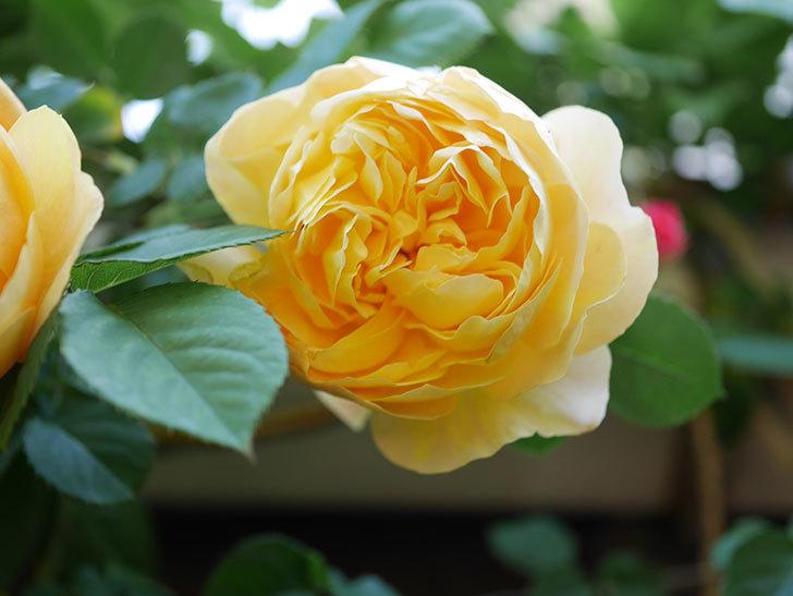サムズ・アップ(Thumbs Up)の花が咲いた。半ツルバラ。2021年-022.jpg