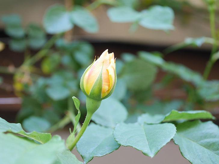 サムズ・アップ(Thumbs Up)の花が咲いた。半ツルバラ。2021年-023.jpg