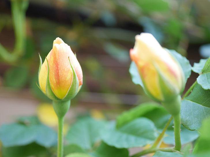 サムズ・アップ(Thumbs Up)の花が咲いた。半ツルバラ。2021年-026.jpg
