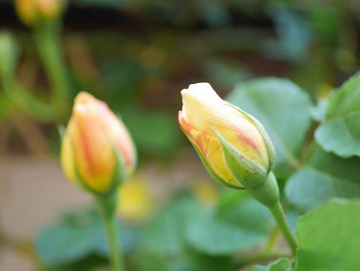 サムズ・アップ(Thumbs Up)の花が咲いた。半ツルバラ。2021年-027.jpg