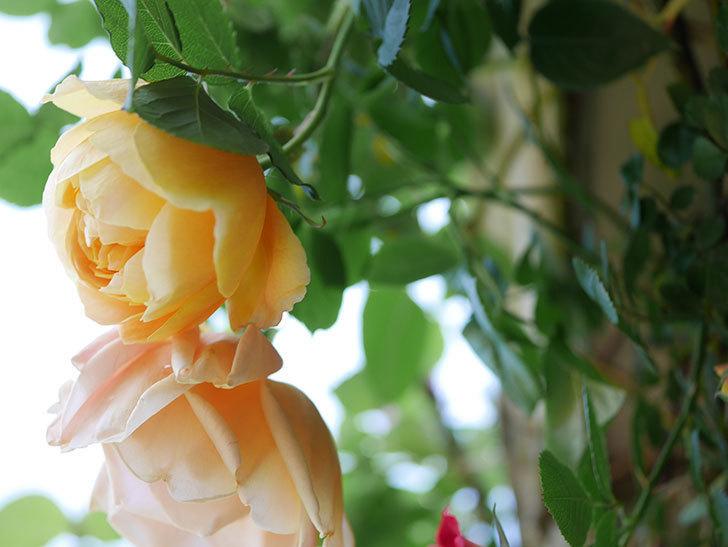 サムズ・アップ(Thumbs Up)の花が咲いた。半ツルバラ。2021年-029.jpg