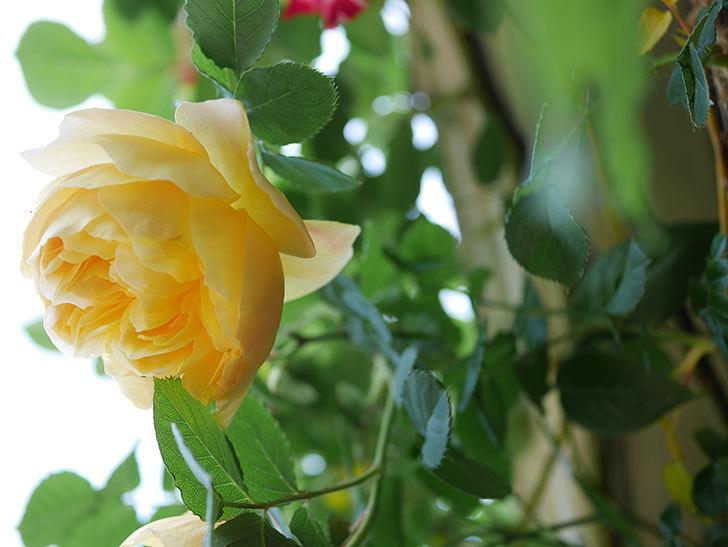 サムズ・アップ(Thumbs Up)の花が咲いた。半ツルバラ。2021年-030.jpg