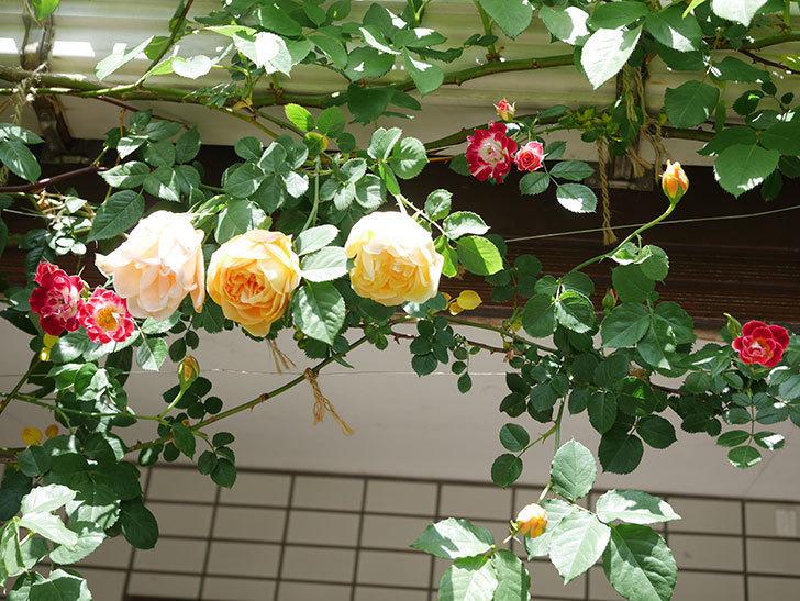 サムズ・アップ(Thumbs Up)の花が咲いた。半ツルバラ。2021年-031.jpg