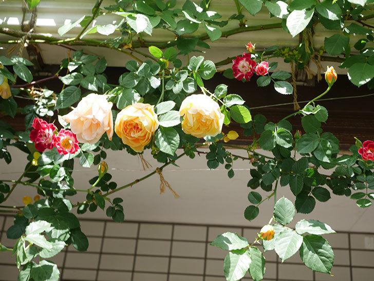 サムズ・アップ(Thumbs Up)の花が咲いた。半ツルバラ。2021年-032.jpg