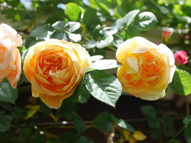サムズ・アップ(Thumbs Up)の花が咲いた。半ツルバラ。2021年-033.jpg
