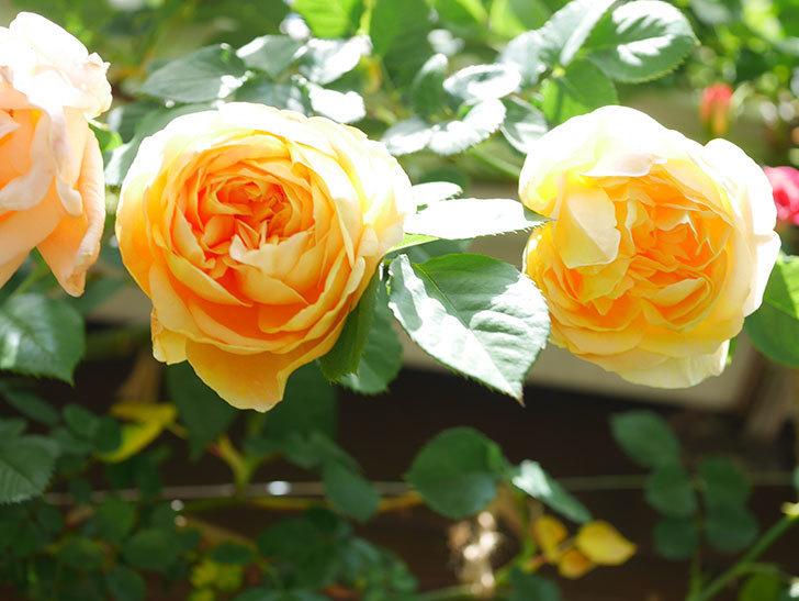 サムズ・アップ(Thumbs Up)の花が咲いた。半ツルバラ。2021年-034.jpg