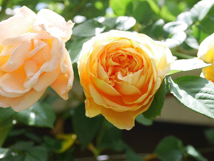 サムズ・アップ(Thumbs Up)の花が咲いた。半ツルバラ。2021年-035.jpg