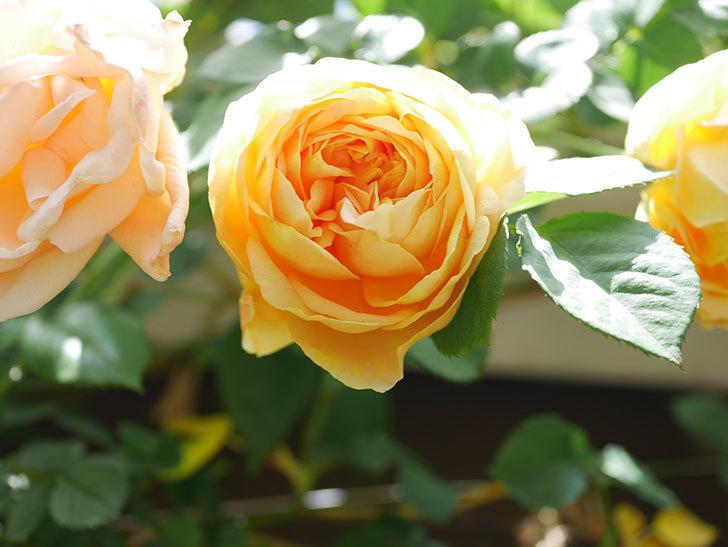 サムズ・アップ(Thumbs Up)の花が咲いた。半ツルバラ。2021年-036.jpg