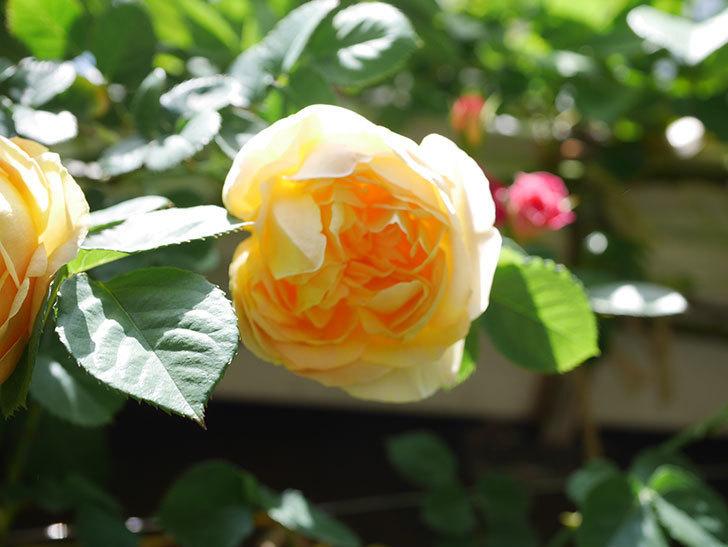 サムズ・アップ(Thumbs Up)の花が咲いた。半ツルバラ。2021年-037.jpg