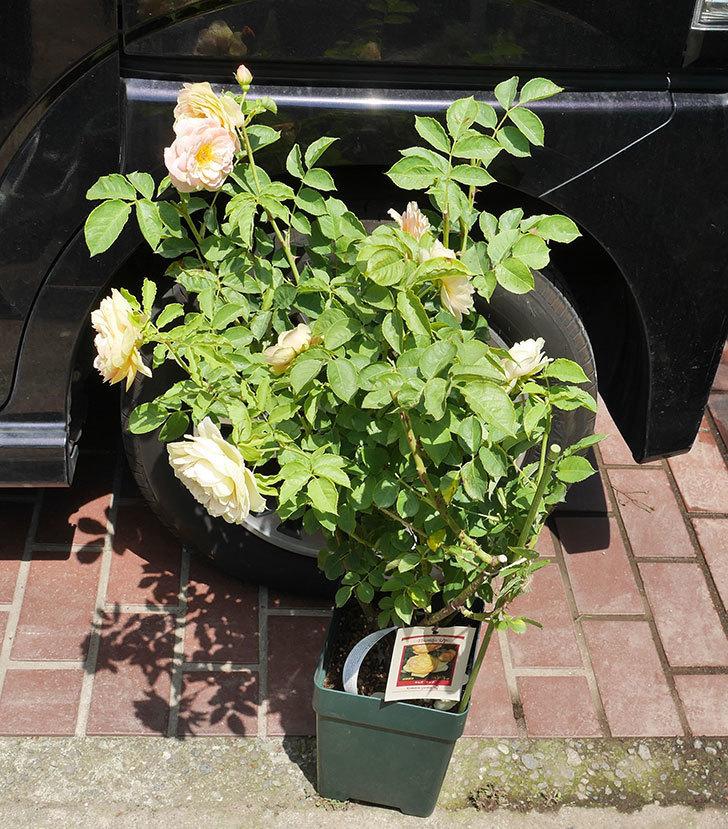 サムズ・アップ(ツルバラ)の大苗を楽天のバラの家で買った。2019年-1.jpg