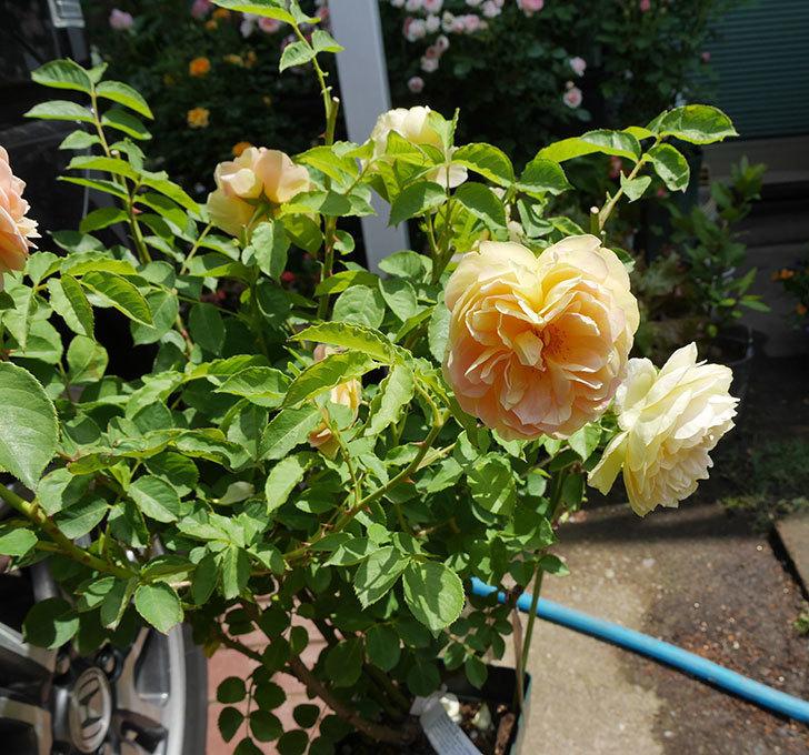 サムズ・アップ(ツルバラ)の大苗を楽天のバラの家で買った。2019年-2.jpg