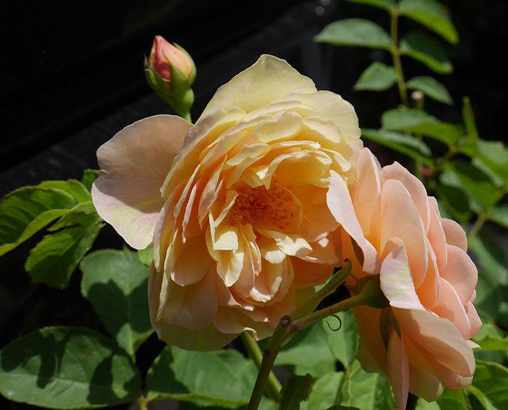 サムズ・アップ(ツルバラ)の大苗を楽天のバラの家で買った。2019年-3.jpg