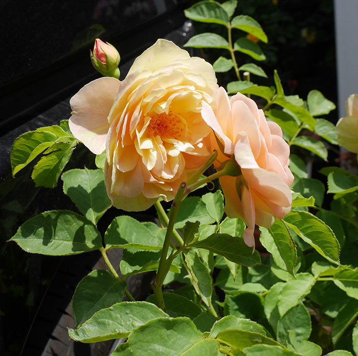 サムズ・アップ(ツルバラ)の大苗を楽天のバラの家で買った。2019年-4.jpg