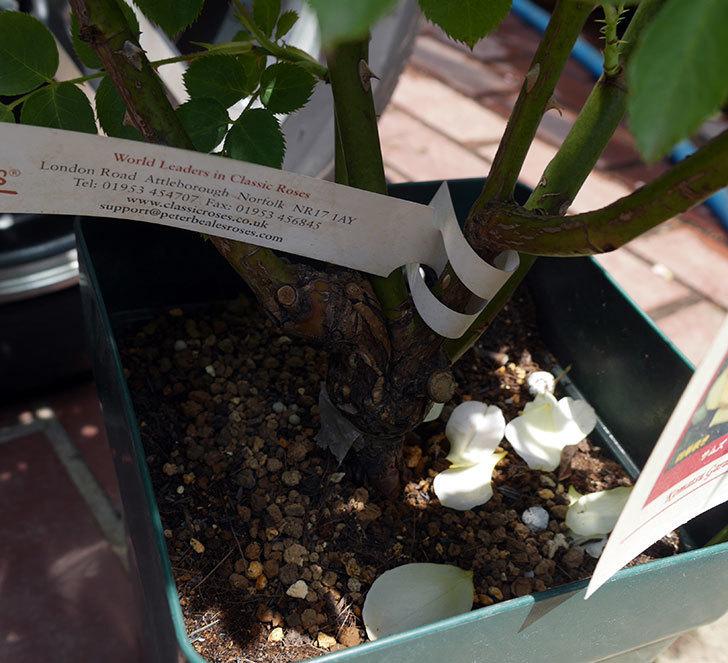 サムズ・アップ(ツルバラ)の大苗を楽天のバラの家で買った。2019年-7.jpg