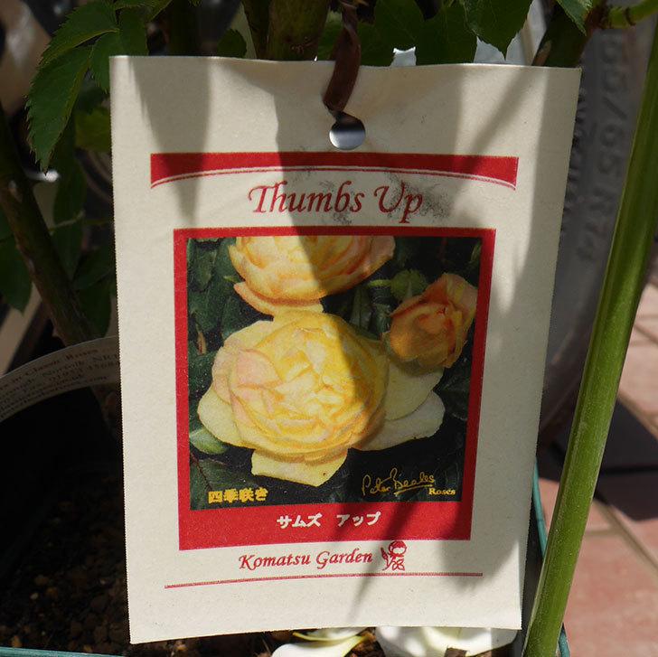 サムズ・アップ(ツルバラ)の大苗を楽天のバラの家で買った。2019年-8.jpg