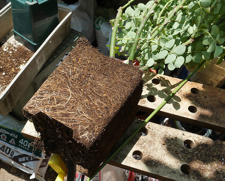 サムズ・アップ(ツルバラ)の大苗をEUスリット鉢-EU-24L(8号深鉢)に植えた。2019年-1.jpg