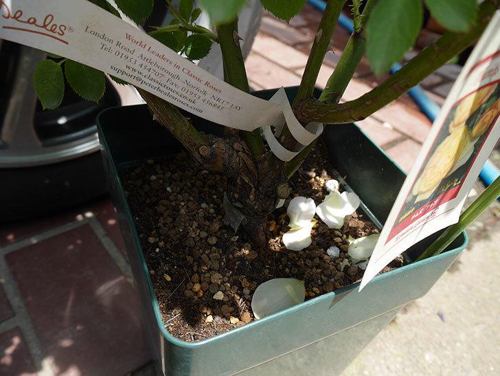 サムズ・アップ(ツルバラ)の大苗をEUスリット鉢-EU-24L(8号深鉢)に植えた。2019年-2.jpg
