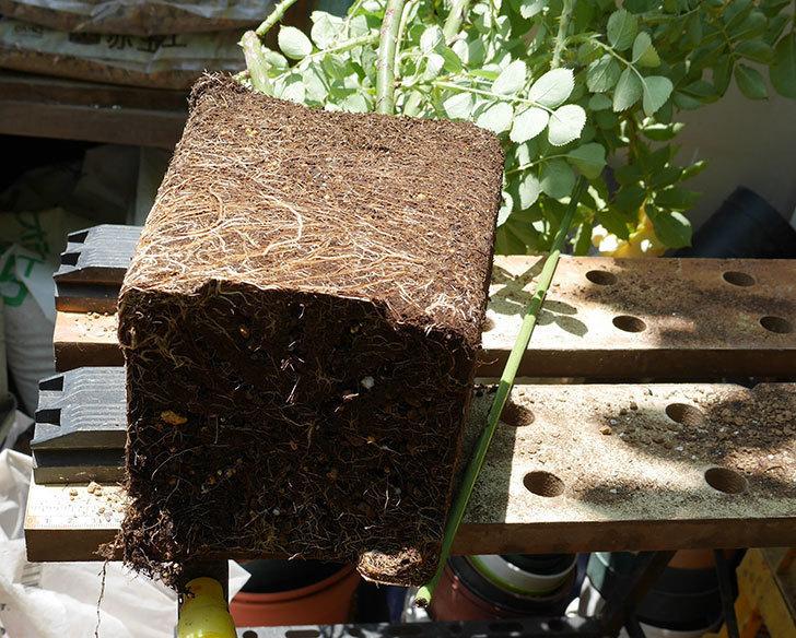 サムズ・アップ(ツルバラ)の大苗をEUスリット鉢-EU-24L(8号深鉢)に植えた。2019年-3.jpg