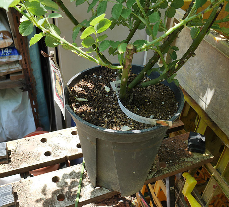 サムズ・アップ(ツルバラ)の大苗をEUスリット鉢-EU-24L(8号深鉢)に植えた。2019年-4.jpg