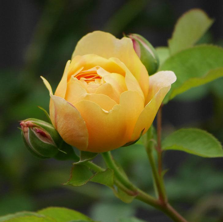 サムズ・アップ(半ツルバラ)に2個目の花が咲いた。2020年-1.jpg