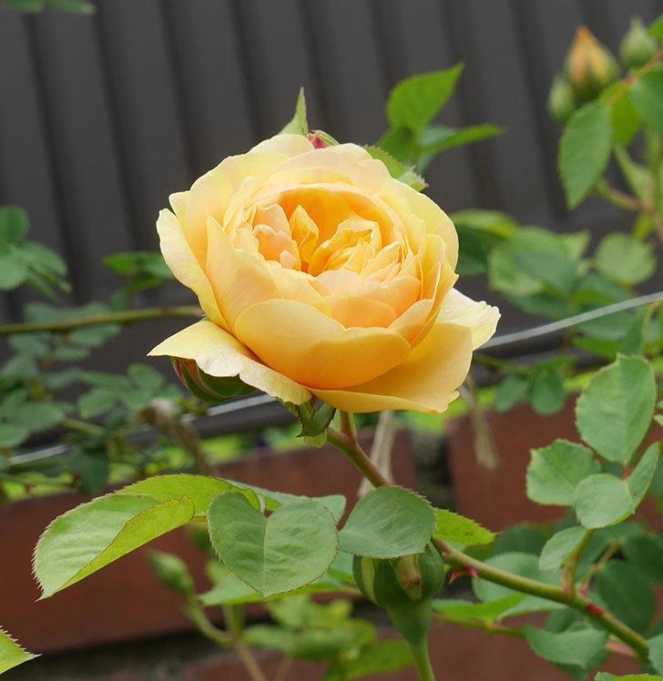 サムズ・アップ(半ツルバラ)に2個目の花が咲いた。2020年-10.jpg