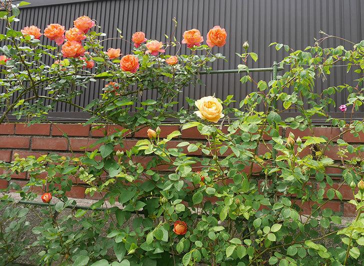 サムズ・アップ(半ツルバラ)に2個目の花が咲いた。2020年-11.jpg