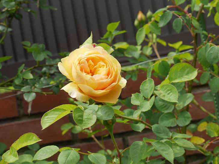 サムズ・アップ(半ツルバラ)に2個目の花が咲いた。2020年-12.jpg