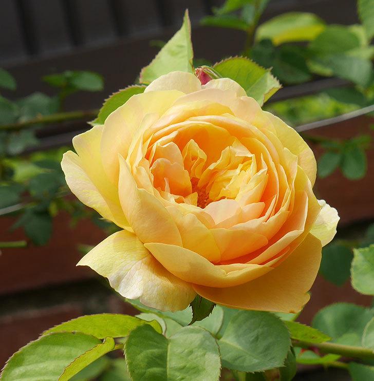 サムズ・アップ(半ツルバラ)に2個目の花が咲いた。2020年-13.jpg