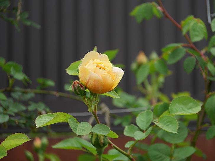 サムズ・アップ(半ツルバラ)に2個目の花が咲いた。2020年-2.jpg