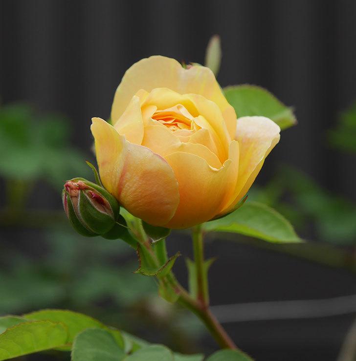 サムズ・アップ(半ツルバラ)に2個目の花が咲いた。2020年-3.jpg
