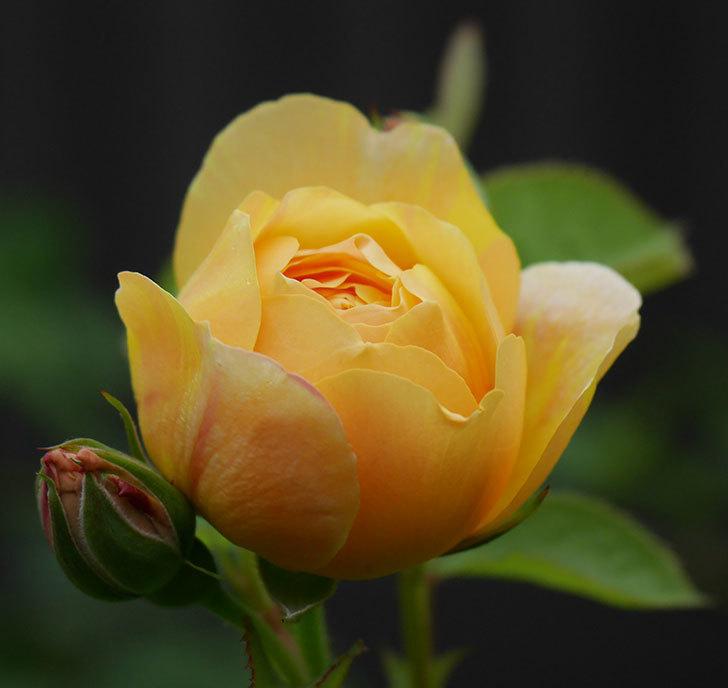 サムズ・アップ(半ツルバラ)に2個目の花が咲いた。2020年-4.jpg