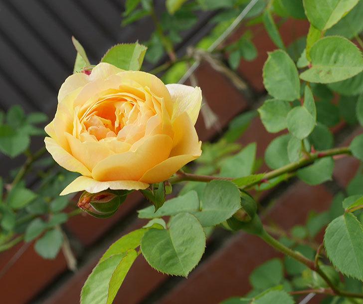 サムズ・アップ(半ツルバラ)に2個目の花が咲いた。2020年-7.jpg