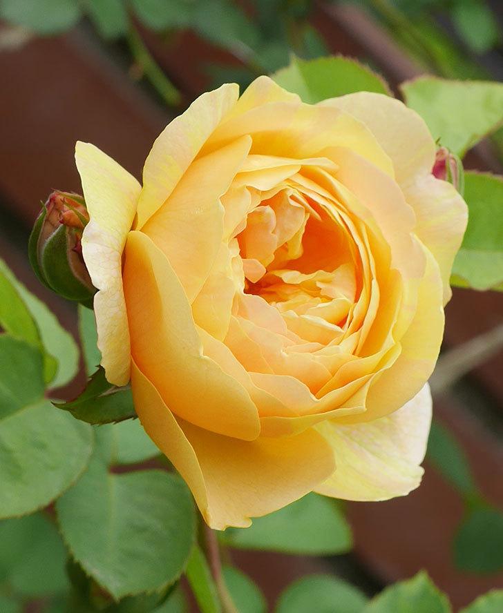 サムズ・アップ(半ツルバラ)に2個目の花が咲いた。2020年-8.jpg